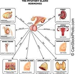 drüse, pituitär, hormone
