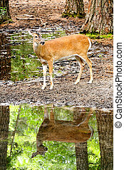 DR - White-tailed Doe 10 - A white-tailed doe reflecting in ...