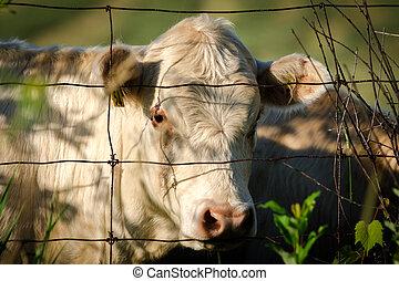 draad, koe, omheining, kijken door, witte