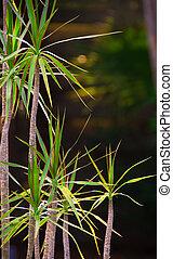 Dracaena - A photograph of a dracaena plant with its small...
