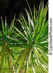 Dracaena Agavaceae. - Dracaena (Agavaceae), Costa del Sol,...