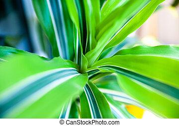 Dracaena - Close up of green striped dracaena.