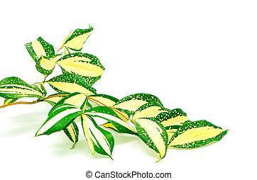 Dracaena - Foliage leaves of dracaena, Gold Dust dracaena or...