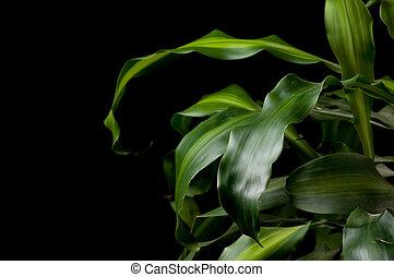 dracaena fragrans against black background