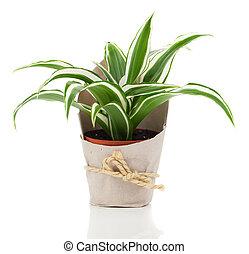 Dracaena fragrans (cornstalk dracaena) in paper packaging,...