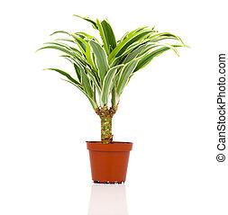Dracaena fragrans (cornstalk dracaena) isolated on a white...