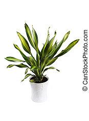dracaena fragrans cv.massangeana with white background