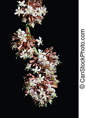 Dracaena fragrans flower - Dracaena fragrans cornstalk...