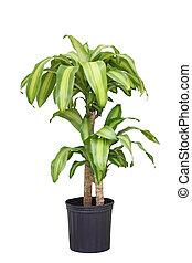 Dracaena fragrans plant - Dracaena fragrans corn plant in...