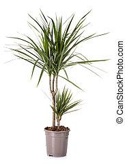 dracaena in studio - dracaena plant in front of white...
