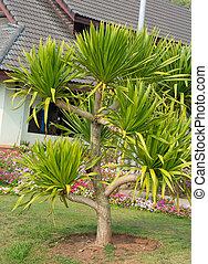 Dracaena loureiri tree (Ornamental garden plant) - Dracaena...