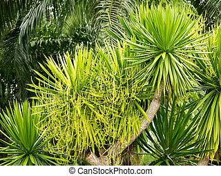 Dracaena lourieri or Dracaena cochinchinensis tree plant...