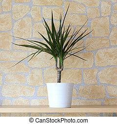 Dracaena marginata - Details of a dracaena marginata in...
