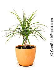 Dracaena marginata in a pot
