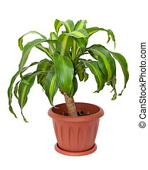 dracaena massangeana - Home plant - Dracaena Massangeana on...