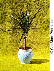Dracaena plant on a green background