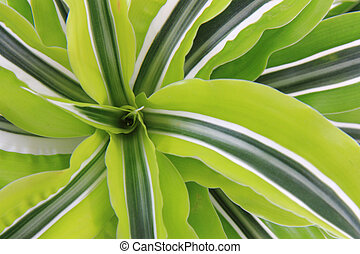 dracaena plat - dracaena plant as very nice green natural...