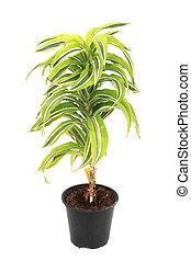 dracaena plat - dracaena plant isolated on the white...
