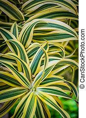 Draceanea Fragrans plant - Close up shot of a tropical...