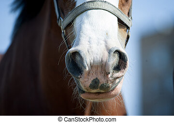 draft horse nose closeup