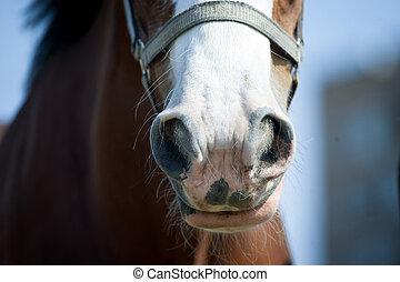draft horse nose closeup