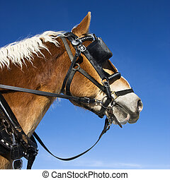 Draft horse. - Side view of draft horse wearing bridle and...