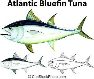 Drafting character for atlantic bluefin tuna