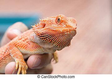 dragão barbudo, mão