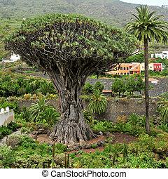 Drago Milenario of Icod de los Vinos in Tenerife, Canary Islands, Spain. This is the oldest known specimen Dracaena draco