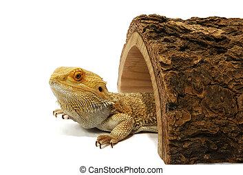dragon, barbu