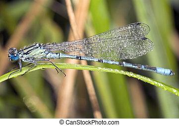 Wet dragon-fly