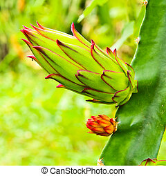 dragon fruit bud on a tree