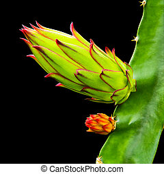 dragon fruit bud on tree isolated on black background, with clipping path