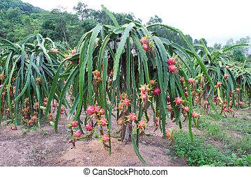 dragon fruit garden