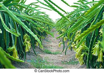 Dragon Fruit Plantation - Pitahaya Dragon fruit plantation...