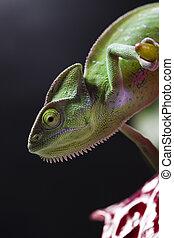 Dragon, Green chameleon