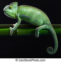 Dragon, Green chameleon - Chameleons belong to one of the...