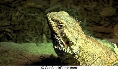 Dragon Lizard - Breaded Dragon Lizard basks in UVB light
