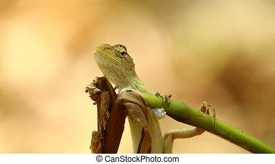Dragon Lizard Garden Lizard Closeup Bokeh Background -...
