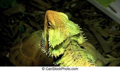 Dragon Lizard - Breaded Dragon Lizard basks in UVB light on...