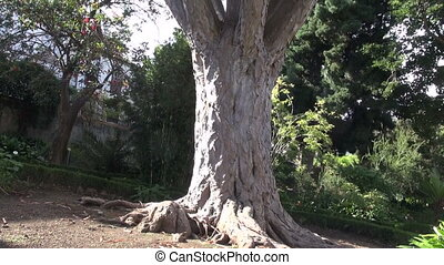 Dragon tree in Orotava, Tenerife - Old dragon tree growing...