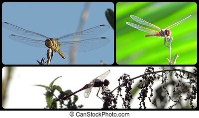 Dragonflies collage