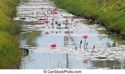 Dragonflies fly over the pond with pink Lotus flowers. Nature background. Cambodia.