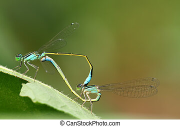 dragonflies in love