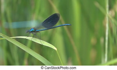 Black-winged damselfly (Calopteryx splendens, male) take off from a reed leaf. Dragonflies near the river on a summer day. Super slow motion 1000 fps
