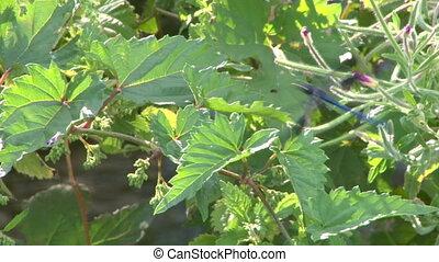 dragonfly 03 - Blue dragonfly on leaf