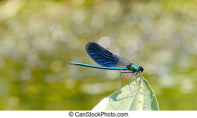 Dragonfly - A dragonfly resting on a leave  by a pond