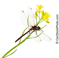 Dragonfly and Mustardgreen Flower