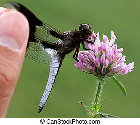 Dragonfly and red clover flower
