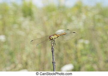 Dragonfly basking